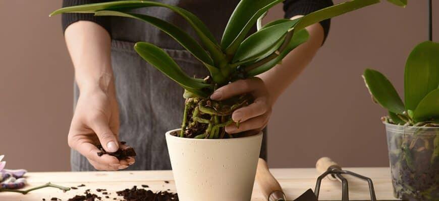 Орхидеи - как ухаживать, поливать и пересаживать орхидеи