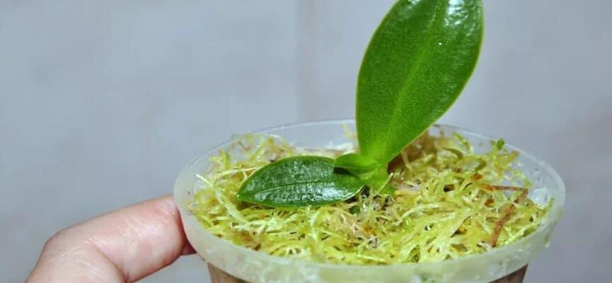 Размножение орхидей - как размножить орхидеи в домашних условиях